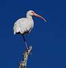 Ibises - A Rogue's Gallery