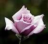 A pastel Lilac