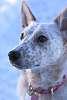 Foster dog billy