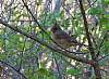 Female Cardinal warily watches me