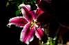 Valentine's Day Lily 2