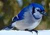 Blue Jay in the winter cold.