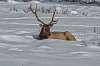 For Norm an Alberta Elk