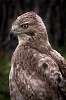 Young Red tailed Hawk.