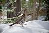 2020-03-17- Male Ruffed Grouse at the feeder
