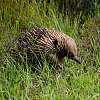 An Echidna looking for ant nests