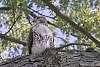 A Hawk In my In-Laws Back Yard