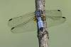 Three Dragonflies From My Archives