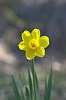 Dreamy Daffodil