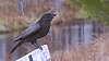 2020-05-19-AP-raven