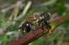 Drone Honeybee