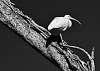 Another Monochrome Ibis