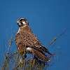 Rufous morph Brown Falcon
