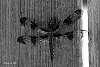 Monochrome Dragonfly