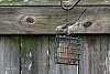 Juvenile Mockingbird Getting a Snack