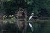 Swampy Egret