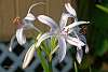 A touch of morning Dew on a Crinum Lily