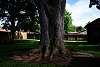 The Live Oak in Our Backyard