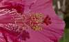 Hot Pink Hibiscus