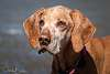 A Hungarian Vizsla with some years behind her.....