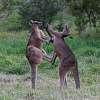 Kangaroo kickboxing
