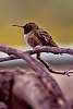Black Chinned Hummingbird Male