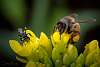 The European Honey bee and one of out native stingless bees, Tetragonula carbonaria