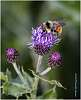 Red-tailed Bumble Bees