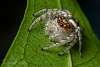 The Garden Jumping Spider