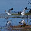 The Avocet Dance