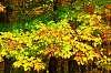 Leaf details, Maple grove near Quebec City, CANADA