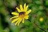 Hover Fly on a Shrub Daisy Blossom