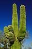 Saguaro in all its splendor, ARIZONA.