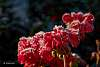 Frosty Geranium Blossoms!