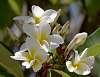 Frangipanis blooming