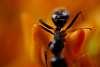 Adorama-Mitakon Zhongyi 20mm f/2 Super Macro for Pentax $149