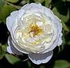 Arctic White Rose