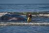 A sperm whale beached itself and died; this is what happened (1)