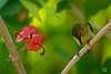 Fork-tailed Sunbird in Hong Kong