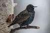 Common Starling [Sturnus vulgaris] in Winter plumage