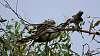 Wattlebird feeding a Koel