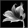 WINNERS-WEEKLY CHALLENGE #525-Flowers in B/W