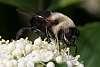 A couple pretty flies