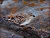 Least Sandpiper - very small