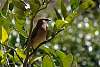 Cedar Waxwing perched in a lemon bush!