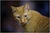 Portrait of an Adolescent  (feline)