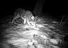 They visit After dark...trail  cam images