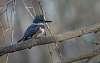 Martin-pêcheur d'Amérique / Belted Kingfisher [Megaceryle alcyon]