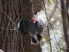 woodpecker cock fight