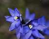 Thelymitra orchids (native Australian sun orchids)